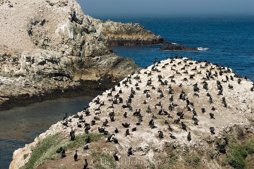 Cormorants Roosting at Point Lobos, California
