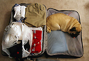 Peppermint the Pug naps on her owners suitcase before he leaves on vacation.
