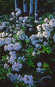 Mountain laurel, Tuscarora State Forest, PA