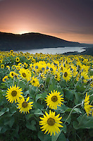Balsamroot wildflowers at sunrise, Rowena Crest, Columbia River Gorge National Scenic Area, Oregon