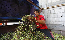 October 2, 2018 - Gaza City, Gaza Strip, Palestinian Territory - A Palestinian man sorts olives cleaned by a machine before pressing it to be made into oil at an olive press in Gaza city. (Credit Image: © Mahmoud Ajjour/APA Images via ZUMA Wire)