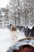 Alaskan huskies pull a sled through the forests near Karasjok, Finnmark region, northern Norway