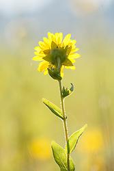 Sunflower or rosinweed backlit by sunset on Blackland Prairie, Mary Talbot Prairie, owned by Native Prairies Association fo Texas (NPAT), Texarkana, Texas, Farmersville, Texas, USA. Need identification