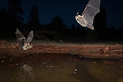 At dusk, two western long-eared bats (Myotis evotis) take turns drinking from a desert watering hole in the high desert of Oregon.