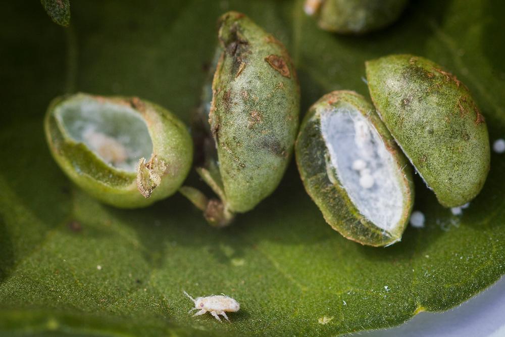 Bambui_MG, Brasil.<br /> <br /> Detalhe da plantacao de alecrim dourado (Rosmarinus officinalis) em Bambui, Minas Gerais.<br /> <br /> Detail of rosemary (Rosmarinus officinalis) plant in Bambui, Minas Gerais.<br /> <br /> Foto: ALEXANDRE MOTA / NITRO