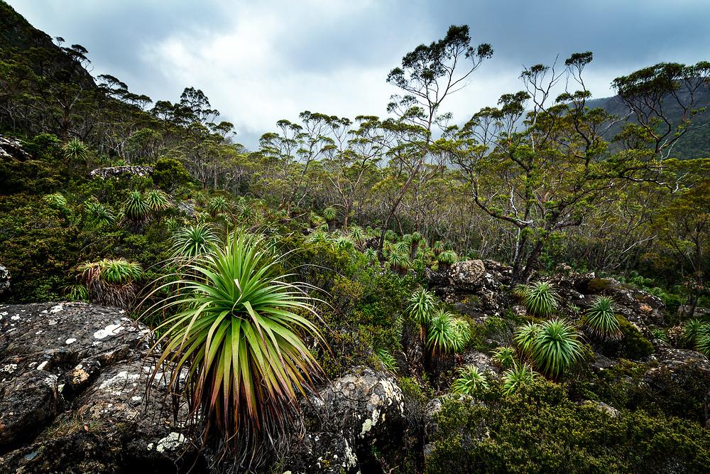 Pandani in Cradle Mountain–Lake St Clair National Park, Tasmania