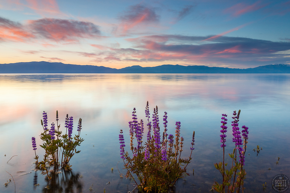 """""""Tahoe Lupine at Sunrise 5"""" - These partially submerged lupine wildflowers were photographed at sunrise at Lake Forest Beach, Lake Tahoe."""