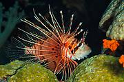 Spotfin Lionfish (Pterois antennata)<br /> Banda Sea<br /> Indonesia