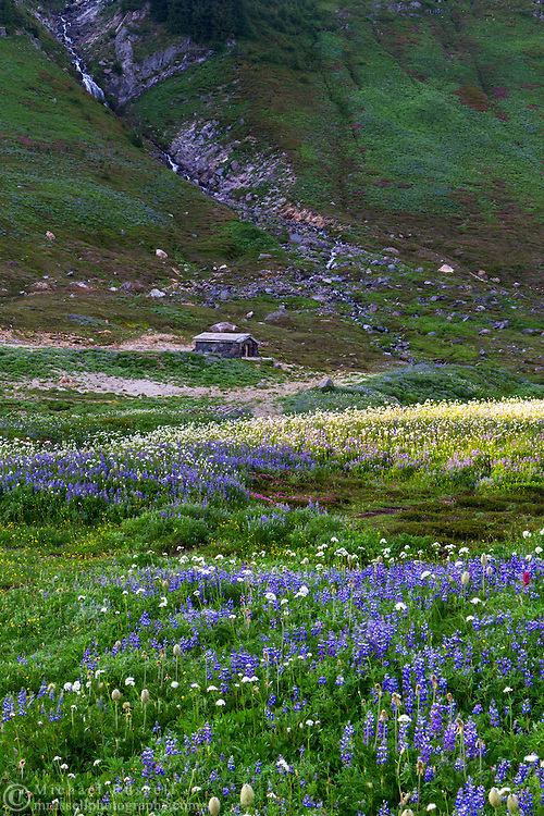 The Edith Creek Chlorination House sits amid the Lupines and Sitka Valerian wildflowers at Paradise in Mount Rainier National Park, Washington State, USA
