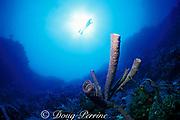 purple tube sponges, Aplysina archeri, <br /> Hogsty Reef, Bahamas,<br /> ( Western Atlantic Ocean )  MR 162
