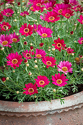 Argyranthemum frutescens 'Grandaisy Deep Red' in a terracotta pot.