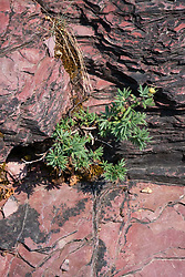 Red rock rich in iron oxide, part of the Grinnell Formation at Glacier National Park, Montana, US