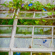 Blue and purple morning glory vines growing through greenhouse window. Louis Bromfield's greenhouse at Malabar Farm State Park. Painted effects blended with original photo. Image featured on promotional postcard for Malabar Farm.