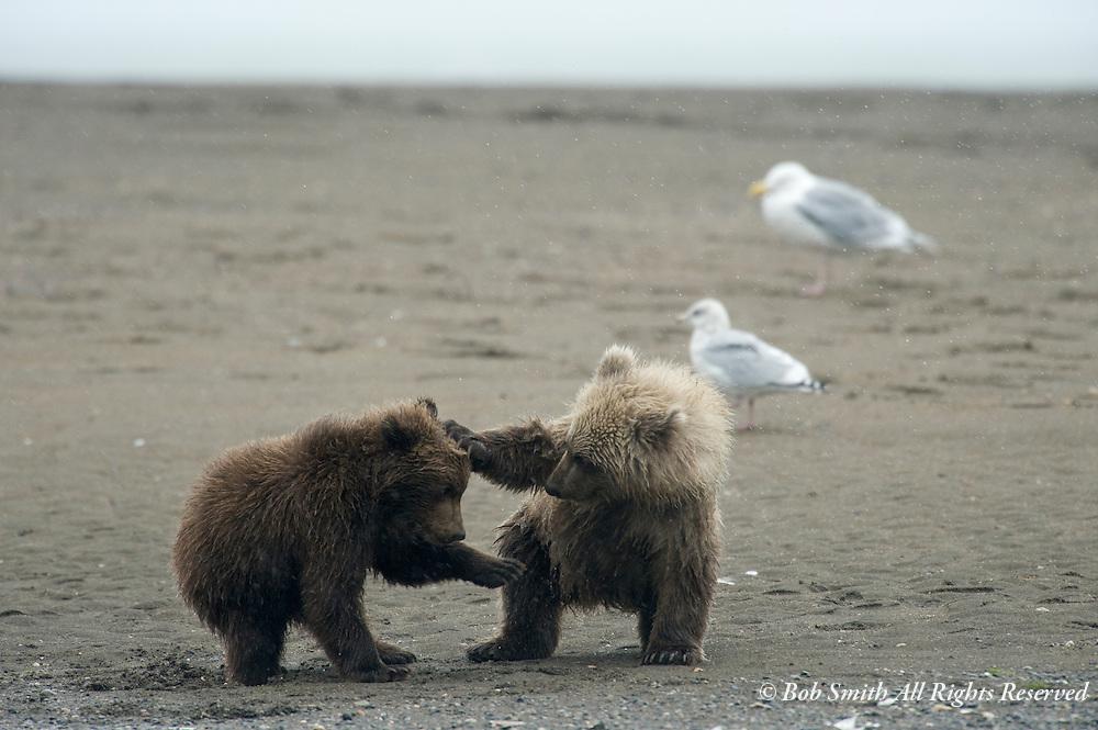 Brown Bear cubs at Lake Clark National Park, AK 20080901  ursus arctos