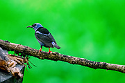 Red-legged honeycreeper (Cyanerpes cyaneus) male. This small songbird is found in the tropics from southern Mexico to northern South America. It is found in open woodland, forest edges, and plantations. Like all honeycreepers, it feeds on nectar with its long curved bill. It also feeds on insects and fruit, reaching lengths of around 12 centimetres. Photographed in Costa Rica.