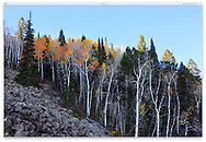 Trees in autumn near the Lab Hollow Overlook and the entrance to Capitol Reef National Park, Utah; USA