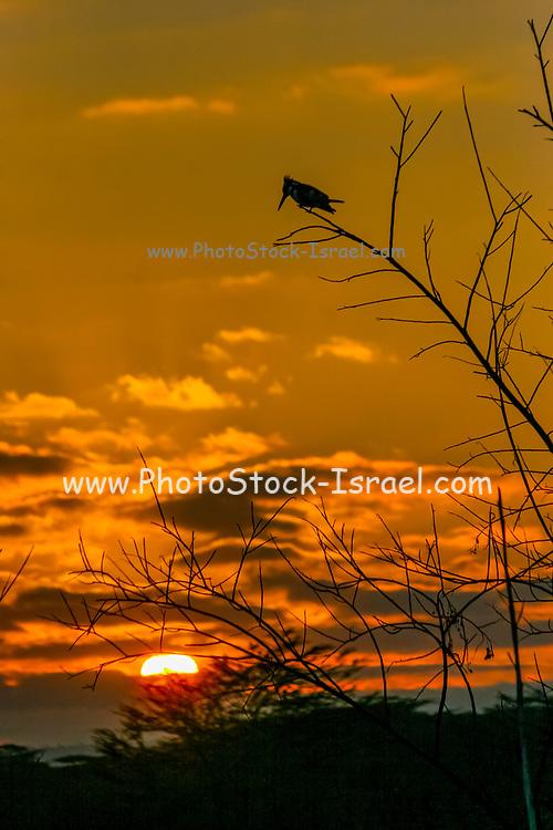 Giant Kingfisher (Megaceryle maxima) Silhouetted at sunset Lake Manyara, Tanzania, East Africa.