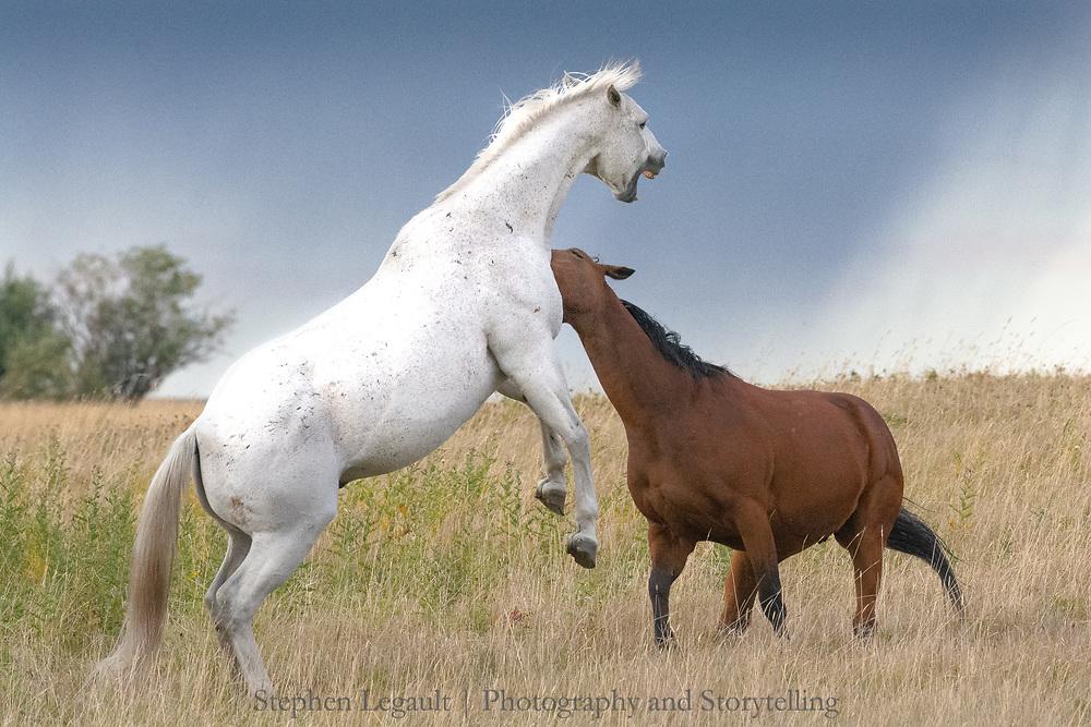 Horses fighting, Waterton Front, Alberta