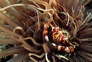Zylinderrosen-Schwimmkrabbe (Lissocarcinus laevis) | Harlequin Crab (Lissocarcinus laevis) in Tube anemone {Cereanthus sp}
