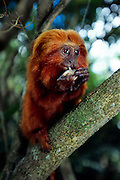 Besides different plant parts and insects Golden Lion Tamarins (Leontopithecus rosalia) occasionally feed on frogs. | Neben pflanzlicher Nahrung und Insekten fressen Löwenäffchen (Leontopithecus rosalia) gelegentlich auch Frösche.