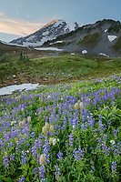 Wildflower meadows of Paradise containing  a mixture of Broadleaf Lupines, and Western Anenomes. Mount  Rainier National Park, Washington
