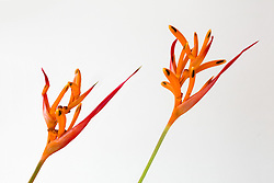Heliconia, Golden Torch#9