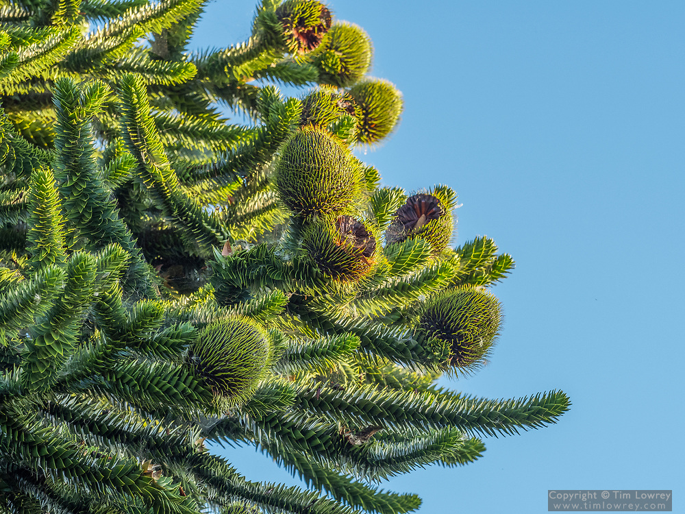 Female Cones On A Monkey Puzzle Tree A Slow Growing Evergreen Conifer Which Can Live To 700 Years. The Nut-like Seeds Produced By The Female Cones Are Edible.