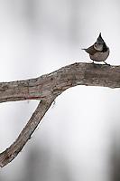 WILD CRESTED TIT; PARUS CRISTATUS; KOROUMA; POSIO; FINLAND 2009; EUROPE; WINTER; BIRD PHOTOGRAPHY; PHOTO HIDE