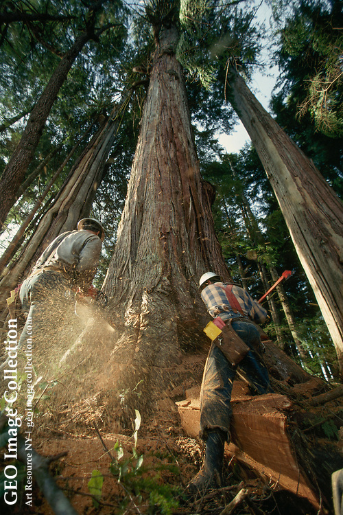 Two loggers felling a cedar tree with axe and chain saw.