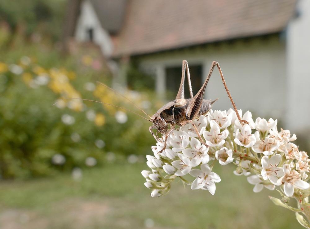 Dark Bush-cricket - Pholidoptera griseoaptera