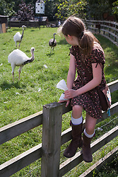 Young girl looking at ostriches on a visit to a city farm,
