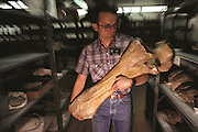 Bone of a mammoth. Paleontologist George Corner carries the fossil elbow (ulna) bone of a mammoth, Mammuthus columbi. Racks of mammoth jawbones and teeth can be seen in this room at the University of Nebraska State Museum, USA. Mammuthus columbi (Columbian mammoth) was an elephant-like mammal, which roamed temperate parts of North America more than 10,000 years ago, when it became extinct. This species stood 4 meters high, and was an important later relative of the woolly mammoth of Europe and Siberia. The bone was discovered in northwest Nebraska between mammoth fossil jaws. This State Museum houses the largest mounted Mammuthus columbi skeleton in the world. MODEL RELEASED (1992)