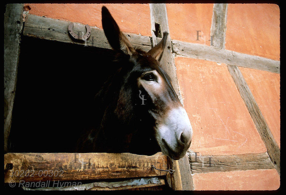 Donkey pokes head out of old stable relocated to the Ecomusee folk museum; Ungersheim, Alsace. France