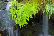Ferns and cascade on Watson Creek, Umpqua National Forest, Oregon