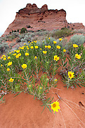 Wide-angle view of mule's ear's flowers in bloom at South Coyote Buttes, Arizona, US