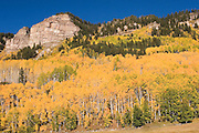Aspens on Coalbank Pass, Colorado, in fall<br />