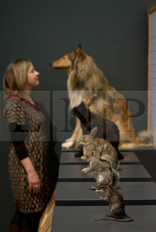 © Licensed to London News Pictures. 05/02/2013. London, UK. A member of Natural History Museum staff views an exhibit of invasive species that follow man and are often the cause for the extinction of local species at the press view for 'Extinction: Not the End of the World' in the Natural History Museum in London today (05/02/13). The exhibition, open to the public on the 8th of February 2013, brings together more than 80 museum specimens to guide visitors on a journey through the death and destruction of species, demonstrating the crucial role that extinction plays in the evolution of life. Photo credit: Matt Cetti-Roberts/LNP