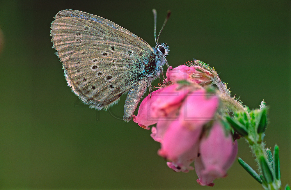 Alcon Blue, a very rare butterlfy, in risk of extinction in Portugal and most of Europe
