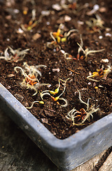 Sowing species clematis - Clematis recta 'Purpurea' <br /> Sowing whole head with tail uppermost in seed tray
