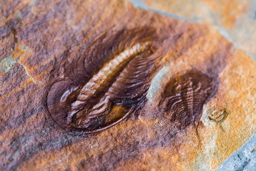 This is a nice split pair oftworare olenellids from the Lower Cambrian Kinzers Formation of Pennsylvania. This double specimen (sagittal length: 25mm) came from an old collection and was found over 20 years ago at the now-closed Fruitville Quarry site.
