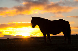 © Licensed to London News Pictures. 20/01/2020. Builth Wells, Powys, Wales, UK. A Welsh pony grazes at sunset on the wild moorland of the Mynydd Epynt range near Builth Wells in Powys, UK. After a day of bitterly cold frosty and foggy weather today, temperatures are forecast to drop below freezing again tonight in Powys, UK. Photo credit: Graham M. Lawrence/LNP