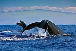 humpback whales, Megaptera novaeangliae, fluke-up dive, Kohala Mountain in background, Hawaii, USA, Pacific Ocean