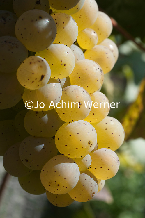 Fast erntereif. Weintrauben am Rebstock an der Mosel.   Ready to be harvested. Grapes of wine on a vineyard in the mosel valley.