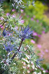 Eryngium bourgatii Blue Form. Sea holly