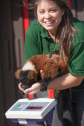 ZSL London, August 21st 2014. Zookeeper Angel Lawson weighs Sid, the red-ruffed lemur as ZSL London holds its annual animal weigh and measure day to update their databases.