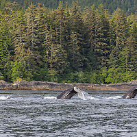 A group of Humpback whales move along the shoreline in southeast Alaska displaying flukes before diving