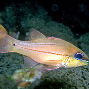 Bargill Cardinalfish shelter in Acropora corals. Picture taken Lembeh Straits, Sulawesi, Indonesia.