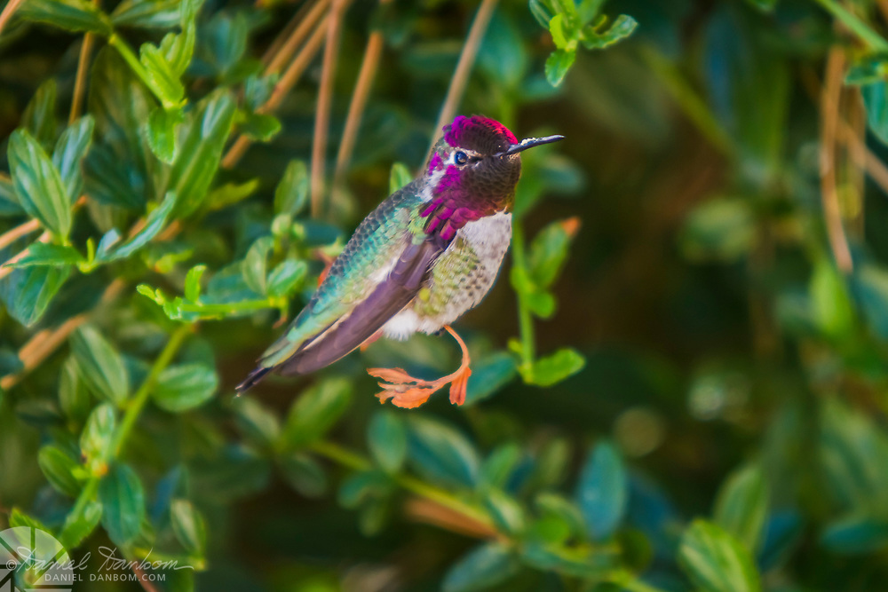 Hummingbird, at Grimes Point, on the Big Sur Coast, Highway 1