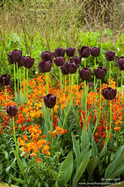 Tulipa 'Queen of Night' with wallflower Erysimum 'Fire King'