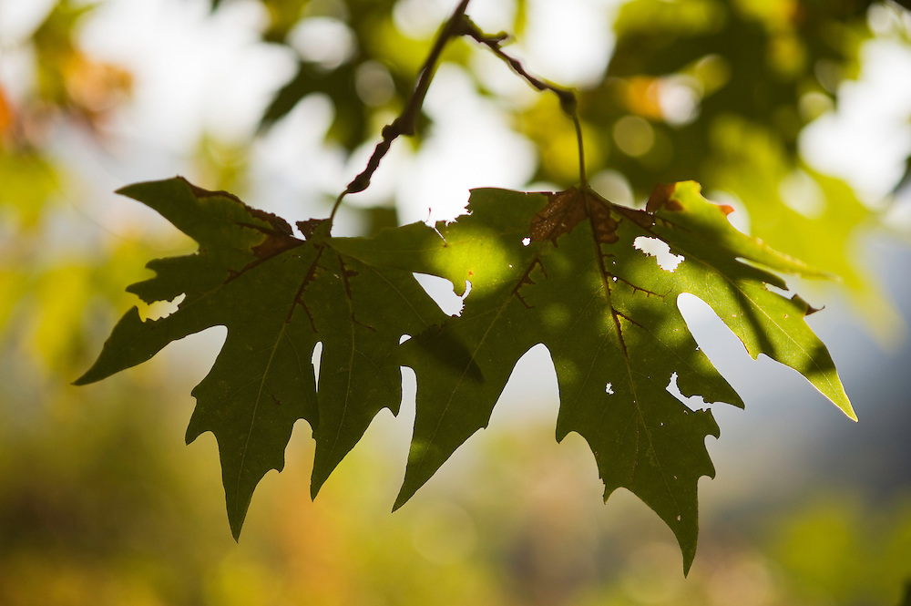 Greece, Meteora, Leaves of Platan tree, Oriental Plane, (Platanus orientalis)